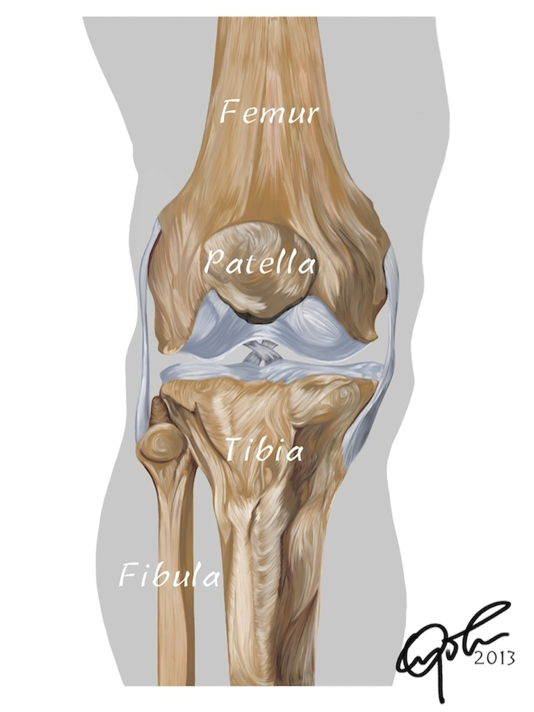 Anatomy Of The Human Knee Chuba Oyolus Portfolio